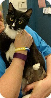 Domestic Shorthair Cat for adoption in Richmond, Virginia - Agatha (cc)