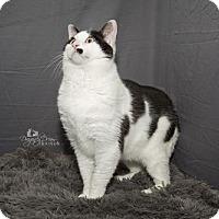 Domestic Shorthair Cat for adoption in Waynesboro, Pennsylvania - Isaiah