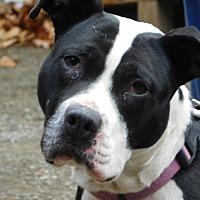 American Pit Bull Terrier Dog for adoption in Millerstown, Pennsylvania - INNOKO