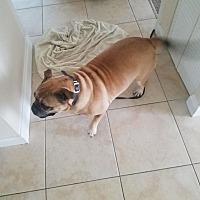 Bullmastiff/Bullmastiff Mix Dog for adoption in Miami, Florida - Jenny