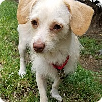 Adopt A Pet :: Cherie - Los Angeles, CA