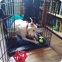 Adopt A Pet :: Bella 2(COURTESY POST) - Baltimore, MD
