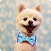 Pomeranian Dog for adoption in Carlisle, Pennsylvania - Biscuit