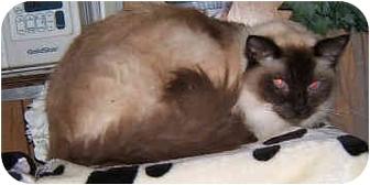 Ragdoll Cat for adoption in Dallas, Texas - Remmy