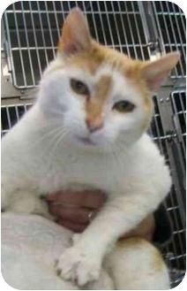 Domestic Shorthair Cat for adoption in Spruce Pine, North Carolina - Sam