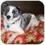 Photo 1 - Australian Shepherd/Australian Cattle Dog Mix Dog for adoption in Latrobe, Pennsylvania - Flora
