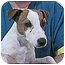 Photo 1 - Jack Russell Terrier Dog for adoption in Provo, Utah - OPE