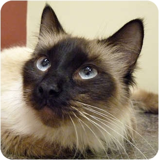 Balinese Cat for adoption in Chicago, Illinois - Dior