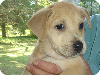 Labrador Retriever Mix Puppy for adoption in Old Bridge, New Jersey - Grace