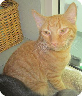 Domestic Shorthair Kitten for adoption in Westminster, California - Kermit