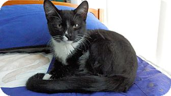 Domestic Shorthair Cat for adoption in Naperville, Illinois - Jinx