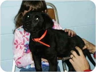 Labrador Retriever Mix Puppy for adoption in Mason City, Iowa - Cody