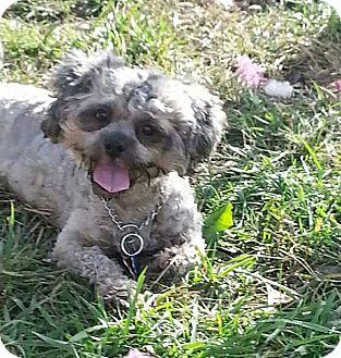 Shih Tzu Mix Dog for adoption in Tinton Falls, New Jersey - Autumn
