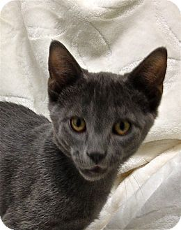 Domestic Shorthair Cat for adoption in South Haven, Michigan - Lurch