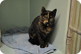 Domestic Shorthair Cat for adoption in Rockaway, New Jersey - Brownie