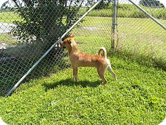 Labrador Retriever Mix Dog for adoption in Osceola, Arkansas - Paco