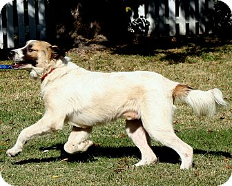 Great Pyrenees/Anatolian Shepherd Mix Dog for adoption in Tulsa, Oklahoma - Maverick   Adopted