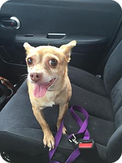 Chihuahua Dog for adoption in Warrenville, Illinois - Chi Chi