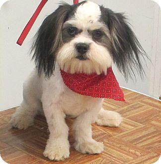 Shih Tzu Dog for adoption in Albany, New York - Finnigan