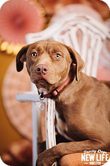 Labrador Retriever/Pit Bull Terrier Mix Dog for adoption in Portland, Oregon - Lolly