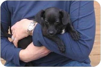 Dachshund/Chihuahua Mix Puppy for adoption in Pittsboro/Durham, North Carolina - Mr. Bean