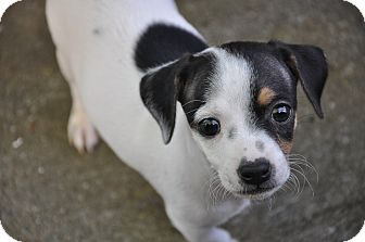 Chihuahua/Miniature Pinscher Mix Puppy for adoption in Bedminster, New Jersey - Caesar