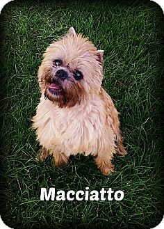Brussels Griffon Dog for adoption in Denver, Colorado - MACCIATO - Adopted