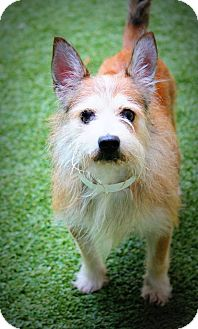 Cairn Terrier Mix Dog for adoption in Ft. Lauderdale, Florida - Napoleon