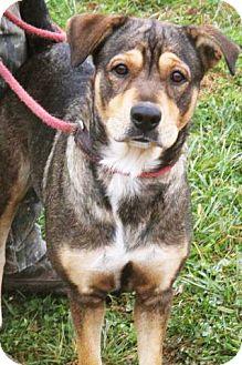 Shepherd (Unknown Type)/Labrador Retriever Mix Dog for adoption in Mt. Prospect, Illinois - Cookie