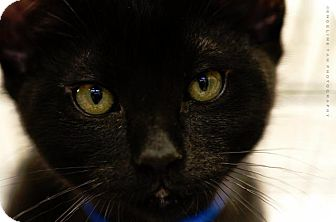 Domestic Shorthair Kitten for adoption in Houston, Texas - BATMAN
