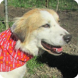 Spaniel (Unknown Type)/Retriever (Unknown Type) Mix Dog for adoption in Godley, Texas - Bella