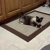 Siamese Cat for adoption in New Franklin, Ohio - Max-8 years old