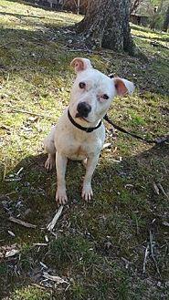 American Staffordshire Terrier Mix Dog for adoption in Richmond, Virginia - Cassie
