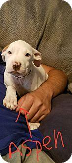 Pit Bull Terrier/Dalmatian Mix Puppy for adoption in Mesa, Arizona - ASPEN - 9 WK PIT BULL DALMATIA