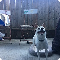 Chihuahua Mix Dog for adoption in Lodi, California - Athena