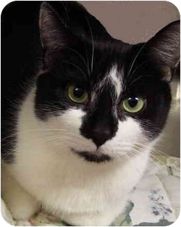 Domestic Shorthair Cat for adoption in Bloomingdale, New Jersey - Cheree