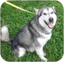 Siberian Husky Dog for adoption in Houston, Texas - ANA