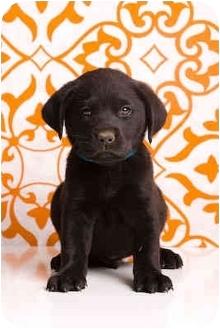 Labrador Retriever Mix Puppy for adoption in Portland, Oregon - Ajax