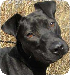 Labrador Retriever Mix Dog for adoption in Kansas City, Missouri - Eve URGENT! Excelent with KIDS