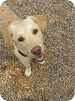 Labrador Retriever/Golden Retriever Mix Puppy for adoption in FOSTER, Rhode Island - Dixon