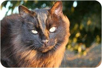Domestic Mediumhair Cat for adoption in Hollister, California - Selene