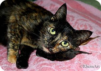 Domestic Shorthair Kitten for adoption in Brooklyn, New York - Anika