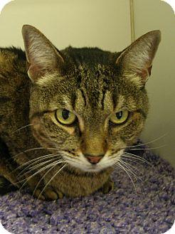 Domestic Shorthair Cat for adoption in Casa Grande, Arizona - Tiger