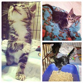 Domestic Shorthair Kitten for adoption in Sunrise, Florida - Sundae