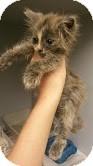 American Shorthair Kitten for adoption in Albertville, Alabama - Sweetie