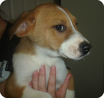 Border Collie Mix Puppy for adoption in Old Bridge, New Jersey - Pete