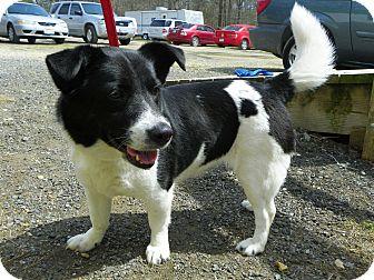Corgi Mix Dog for adoption in Waldorf, Maryland - Popper-ADOPTION PENDING