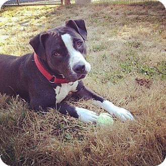Boxer/American Pit Bull Terrier Mix Dog for adoption in Portland, Oregon - Maggie