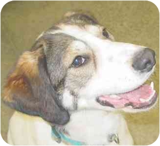 Welsh Springer Spaniel Mix Dog for adoption in Lake Odessa, Michigan - Curly
