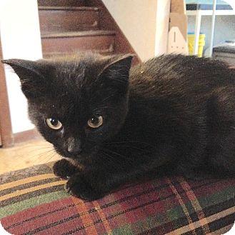 Domestic Shorthair Kitten for adoption in Des Moines, Iowa - Winter